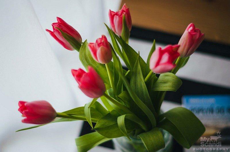 tulipan-026